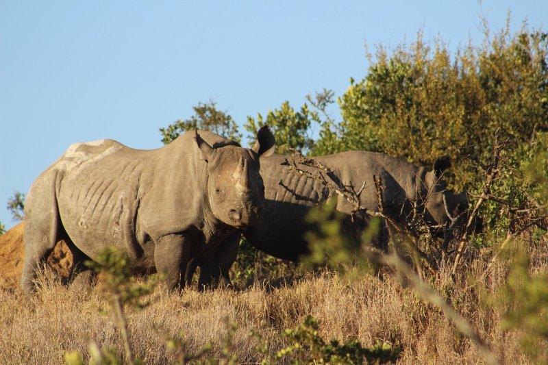 Black Rhino Female and Calf at Borana Conservancy